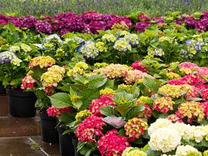 ventes plantes fleuries agen arbres fruitiers lot et garonne horticulteur 47 vente de fleurs. Black Bedroom Furniture Sets. Home Design Ideas